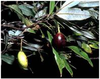 tawa berries